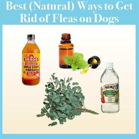 best way to get rid of fleas on dogs best way to get rid of fleas in house 28 images 1000 images about pest on fleas