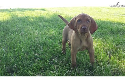 vizsla puppies iowa vizsla puppy for sale near des moines iowa 40c0bd57 c651