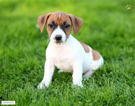 beagle mix puppies for sale 1000 ideas about beagle mix puppies on beagle mix puppies and puppies