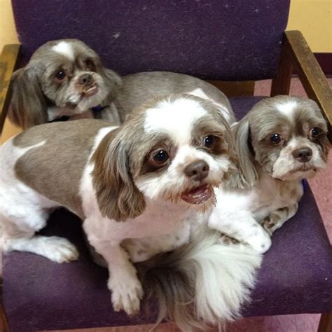 list of shih haircut list of shih haircut 1902 best images about shitzu s on