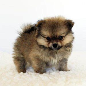 pomeranian separation anxiety teacup pomeranian what s about em what s bad about em
