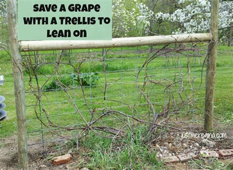 how to build grape trellis support just me regina