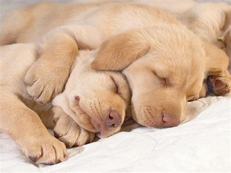 golden retriever puppiea top 10 cutest sleeping puppies