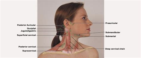 lymph node locations what are lymph nodes locations and diseases organs of the