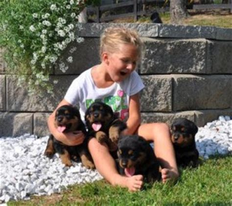 rottweiler puppies nh dogs keene nh free classified ads