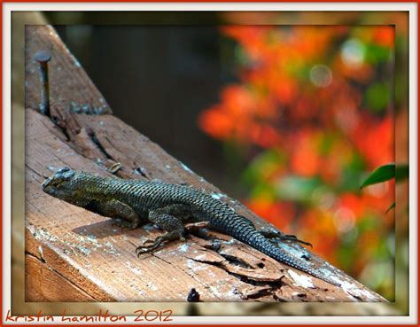 lizard in my backyard leaping lizards in my backyard