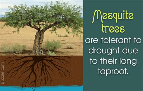 Lack Table by 12 Really Amazing Facts About Mesquite Trees