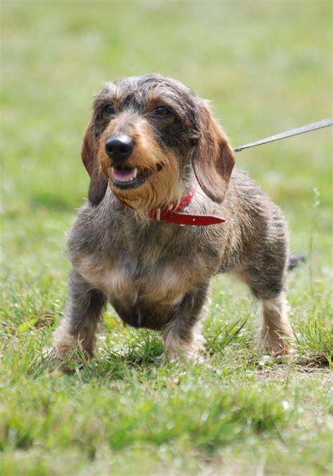 haired weiner wire haired dachshund