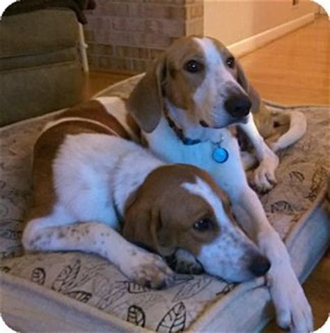 puppies for adoption in md 16 best images about american foxhound on watercolors puppys and pictures of