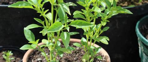 Comment Faire Pousser Du Basilic by Faire Pousser Du Basilic En Pot Herbes Aromatiques