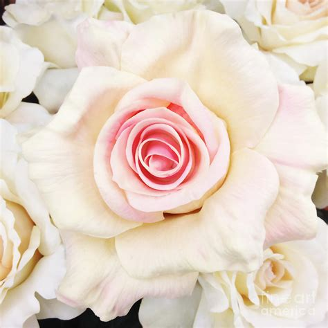 shabby chic romantic white pink rose pastel shabby chic