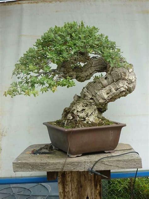 old bonsai tree 90e708cf7606327f2bc23ceae5ab9b7d jpg 720 215 960 bonsai