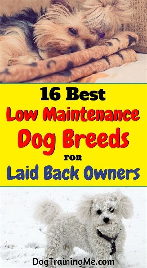 best low maintenance dogs 193 best images about puppies on lab pups clumber spaniel and chocolate labs