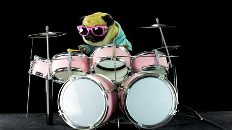pugs and drummers pug rocks out drum to metallica song quot enter sandman quot it s epic for words pawbuzz