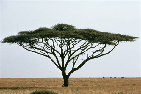 meaning of trees acacia tree dream meaning dream about acacia tree