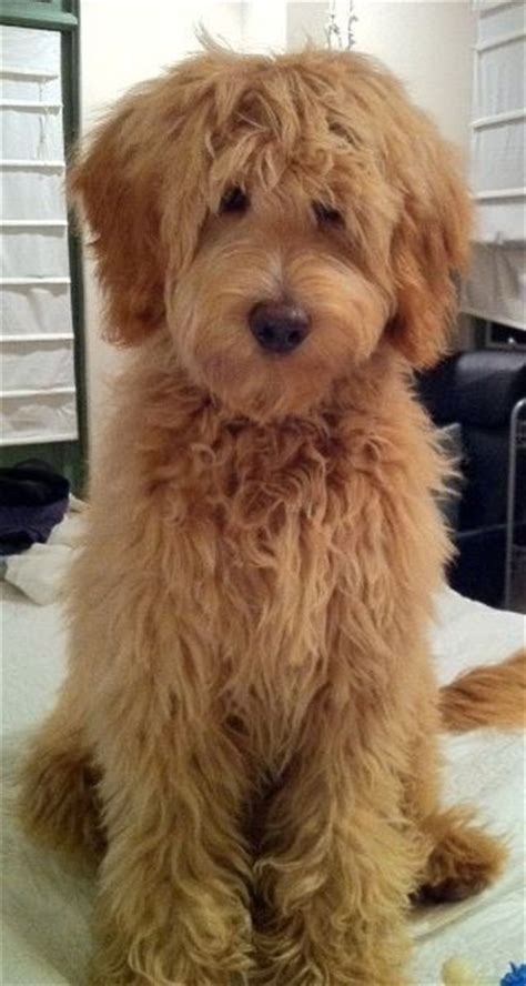mini goldendoodles louisiana the 25 best standard goldendoodle ideas on
