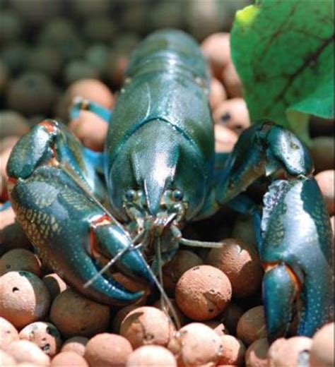 backyard crawfish farming pinterest the world s catalog of ideas