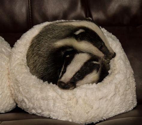 rescued badgers snuggle up at secret world wildlife rescue