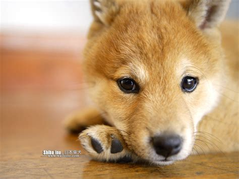 shiba inu puppies shiba inu wallpaper desktop awesome wallpapers