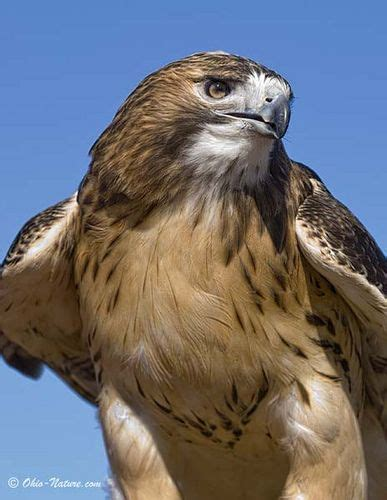127 best images about hawks on pinterest peregrine