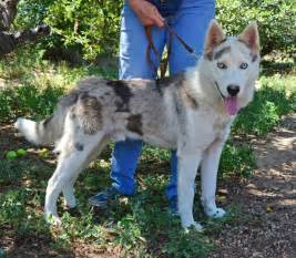 siberian husky colors what coat color pattern would this be