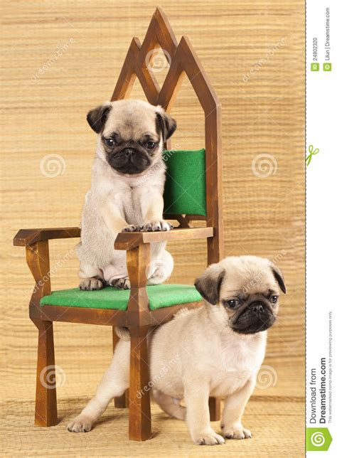 two pug puppies two pug puppies stock photo image 24802320