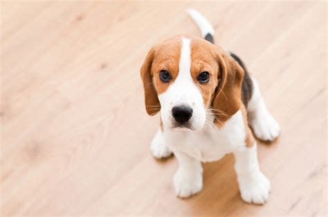 Do Beagle Puppies Shed by The 21 Easiest Breeds To Own