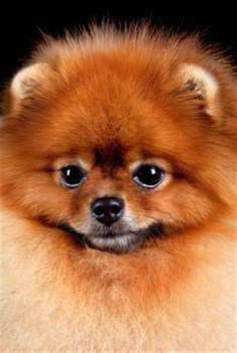 pomeranian disposition pomeranian personality all about pomeranians