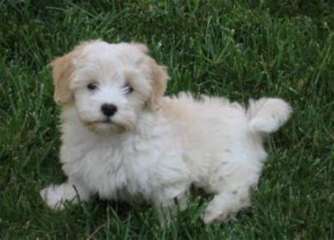 havanese puppies for sale vancouver havanese puppies available from canadian puppy