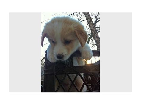 mixed breed puppies for free mixed breed puppies johannesburg puppies for sale