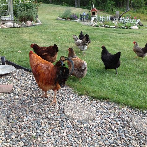 Backyard Chickens Minnesota Minnesota Page 858