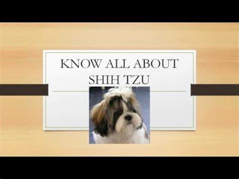 all about shih tzu breed shih tzu facts funnydog tv