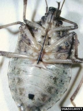 bed bugs seattle stink bugs plague homeowners farmers and they re in