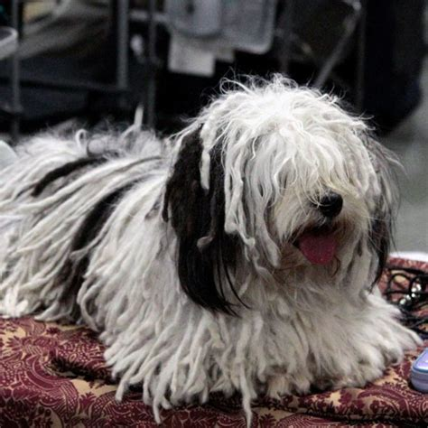 mop breed dogs with dreads a survey of mop breeds dogster dogs by breed