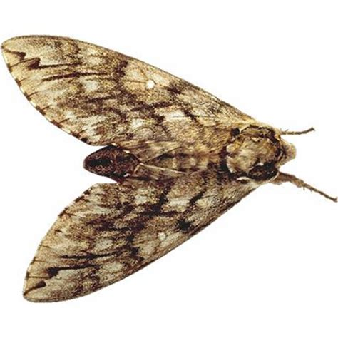 The Moth And The L by Moth Meaning Of Moth In Longman Dictionary Of