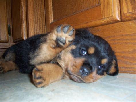 rottweiler breeders hawaii 25 best rottweiler puppies ideas on baby rottweiler rottweilers and