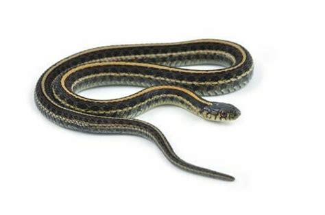 Garter Snake How To Get Rid Of by How To Get Rid Of Garter Snakes In The Basement Home
