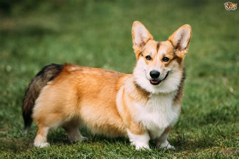 small house dogs for sale 28 images best 25 large welsh corgi pembroke dog breed information buying advice