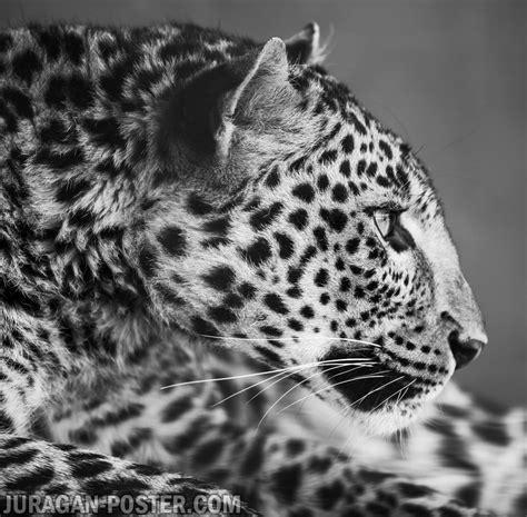 Jual Leopard Leopard Jual Poster Di Juragan Poster