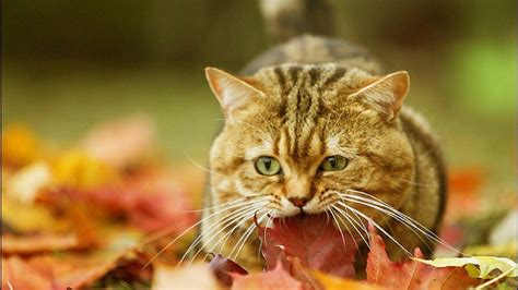 cat eating wallpaper cat autumn leaves wallpaper 1920x1080 12134