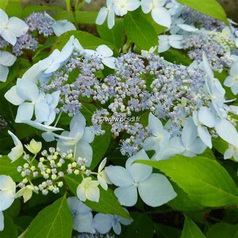 deckenle flur hydrangea serrata blue deckle 20 40 c4l tous les
