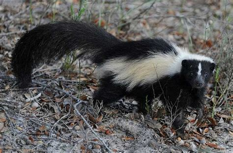 How To Get Rid Of Skunk In Backyard by How To Get Rid Of Skunks Keep Them Away Permanently