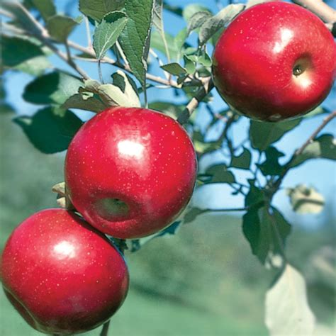 stark nursery fruit trees jonafree apple apple trees stark bro s