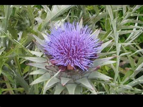 carciofo fiore fiore de carciofo