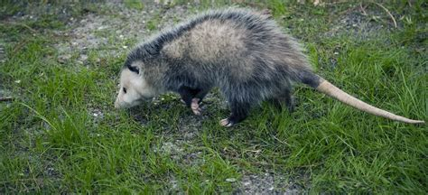 how to get rid of possums in backyard how to get rid of a possum in backyard 28 images how