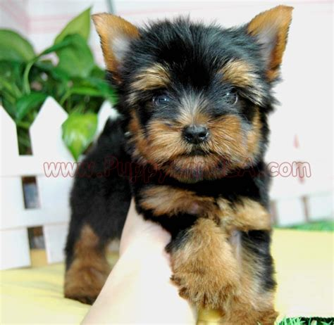 all about teacup yorkies pin all about teacup yorkies image search results on