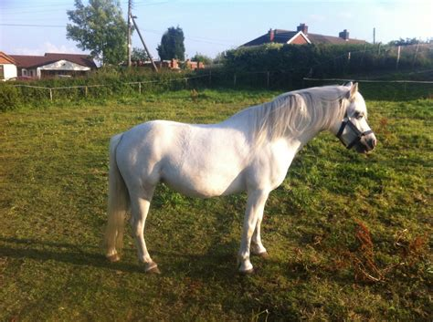 welsh section a pony 11 2hh welsh section a pony sold from the field stoke on