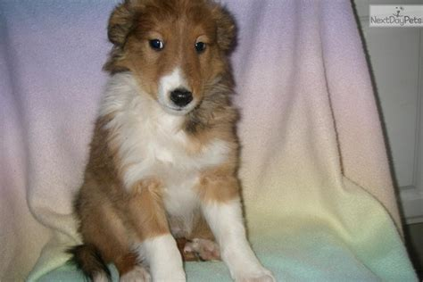 sheepdog puppies for sale in pa sheltie mix puppies sale pa images