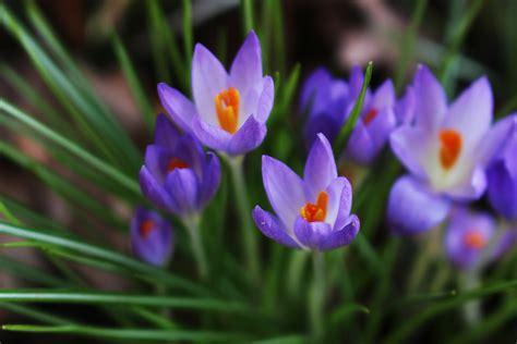 fiore croco flowering bulbs piedmont master gardeners