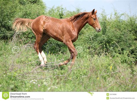 nice hourse nice young horse running downhill royalty free stock image